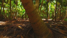 The trunks of the palm trees in the wilds of the rainforest. Close up stock video