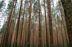 Trunks of pine trees in the forest Royalty Free Stock Image