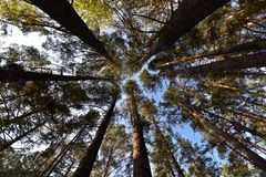 The trunks of the pine trees reach for the sky stock photo