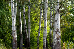 The trunks of poplar Royalty Free Stock Photos