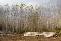 Trunks and poplar trees. Populus canadensis. Stock Photo
