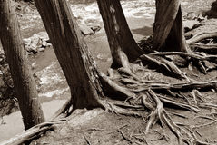 Trunks and Roots Stock Image