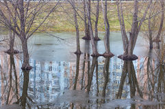 Trunks and roots of trees reflect on water. Reflection of multis Royalty Free Stock Photography