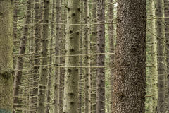 Trunks of spruce picea abies in the forest. Stock Photos