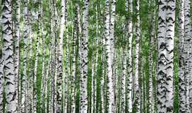 Trunks of summer birch trees Stock Image