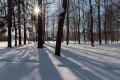 Trunks of tall trees on a winter bright day.  Royalty Free Stock Photos