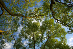 Trunks of trees and blue sky Royalty Free Stock Images