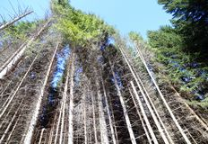 Trunks of trees in forest of conifers, firs, pines and big beech Stock Photography