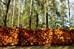 The trunks of trees on forest felling Stock Photo