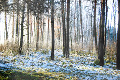 Trunks of trees in a forest in winter Royalty Free Stock Image