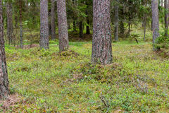 Trunks of trees in green forest Stock Photos