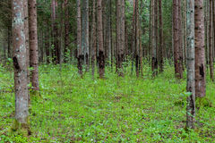 Trunks of trees in green forest Royalty Free Stock Images