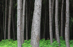 Trunks of trees in the jungle Royalty Free Stock Images