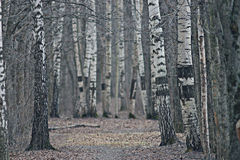 Trunks of trees without leaves, background BLUR Royalty Free Stock Photos