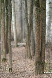 Trunks of trees without leaves, background BLUR Stock Image