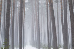 Trunks of trees in a pine forest in the snow. Stock Photography