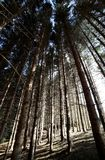 Trunks of trees in pristine forest of conifers and big beeches. High trunks of trees in pristine forest of conifers, firs, pines and big beeches Stock Photo