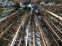 Trunks of trees in pristine forest of conifers , firs , pines. High trunks of trees in pristine forest of conifers , firs , pines and beeches Stock Photography