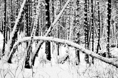 The trunks of trees with snow in winter Royalty Free Stock Photography
