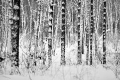 The trunks of trees with snow in winter Stock Photos