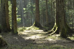 The trunks of the trees in the spruce forest. The rays of the sun Stock Image