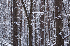 Trunks of trees in a winter snow-covered forest Royalty Free Stock Image