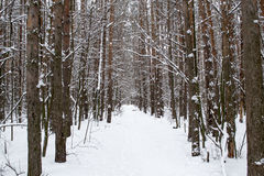 Trunks of trees in a winter snow-covered forest Royalty Free Stock Photos