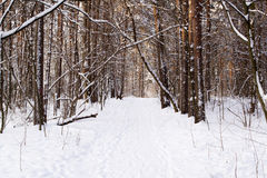 Trunks of trees in a winter snow-covered forest Royalty Free Stock Photography