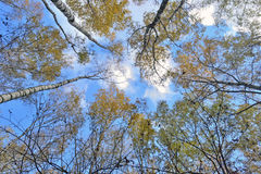 Trunks of trees with yellow leaves against the blue sky Stock Photo