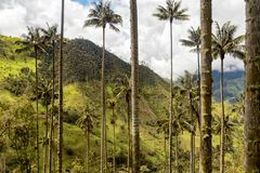 Rural tolima. Trunks of the unique wax palm in the rural mountains outside of Salento, Colombia royalty free stock images