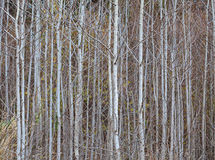 Trunks of young aspens Royalty Free Stock Image