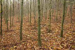 Trunks of young beech trees Royalty Free Stock Photo