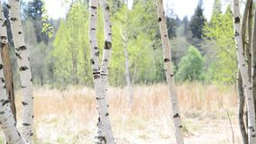 Trunks of young birches in the spring. Young birch grove in an early spring stock video footage