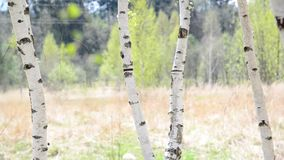 Trunks of young birches in the spring. Young birch grove in an early spring stock footage