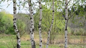 Trunks of young birches in the spring. Young birch grove in an early spring stock video