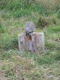 Trunky meerkat zdjęcie royalty free