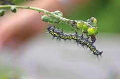 Trup motylia dżdżownica Zdjęcie Stock
