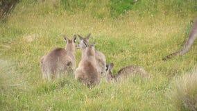 Truppa del wallaby del canguro - fauna selvatica australiana stock footage