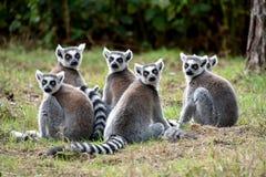 Truppa delle lemure catta Fotografia Stock