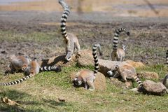 Truppa di foraggiamento di Ring Tailed Lemurs per l'alimento Immagine Stock