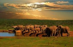 Truppa, gregge dell'elefante,  di loxodonta africana, bevente al foro di acqua nella sera in Addo Elephant National Park Immagini Stock Libere da Diritti