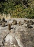 Truppa verde oliva del babbuino Fotografia Stock Libera da Diritti