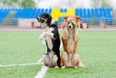 Truque da mostra de dois cães de border collie Fotografia de Stock