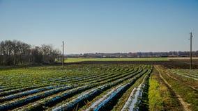Truskawek pola w Dunajskiej równinie w jesieni Zdjęcie Royalty Free