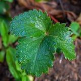 Truskawek rośliny Zdjęcia Royalty Free