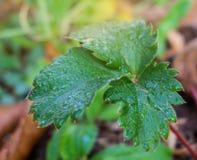 Truskawek rośliny Zdjęcia Stock