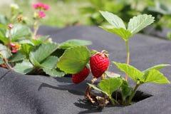 Truskawka groving w ogródzie Obrazy Stock