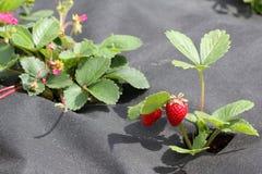 Truskawka groving w ogródzie Obraz Royalty Free