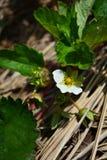 Truskawka kwiatów ogród Zdjęcie Stock