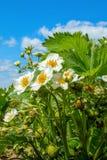 Truskawka kwitnie z zielonymi truskawkami zdjęcie stock